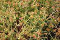 San Bartolomé - LZ30 - El Grifo - Euphorbia segetalis 07 ies.jpg