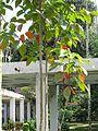 Sandoricum koetjape (Santol) tree in RDA, Bogra 03.jpg