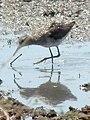 Sandpiper in Tanzania 2858 cropped Nevit.jpg