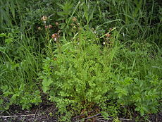 SanguisorbaMinor-plant.jpg