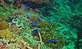 Sapphire Damsels (Pomacentrus pavo) (6085702666).jpg