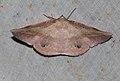Sarcinodes sumatraria (Geometridae- Oenochrominae) (5698086968).jpg