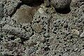 Sarcogyne regularis (39738524185).jpg
