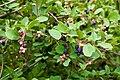 Saskatoon Berries in Seton Portage.jpg