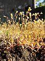 Saxifraga tridactylites sl11.jpg