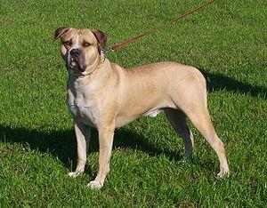 American Bulldog on American Bulldog     Wikipedia