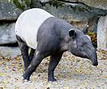 Schabrackentapir Tapirus indicus Tierpark Hellabrunn-3.jpg