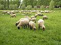 Schafe auf den Wiesen vor Poll.jpg