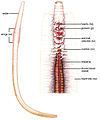 Category:Oligochaeta anatomy - Wikimedia CommonsOligochaeta Anatomy