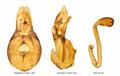 Schistoglossa viduata (Erichson, 1837) Genital (16347630308).png