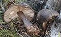 Schwarzschneidige Dachpilze Pluteus atromarginatus.jpg