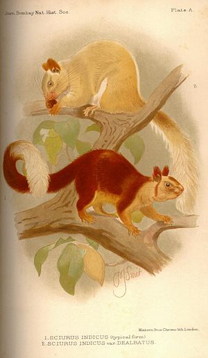Indian giant squirrel - Ratufa indicus dealbatus (top) and Ratufa indicus typicus (bottom)