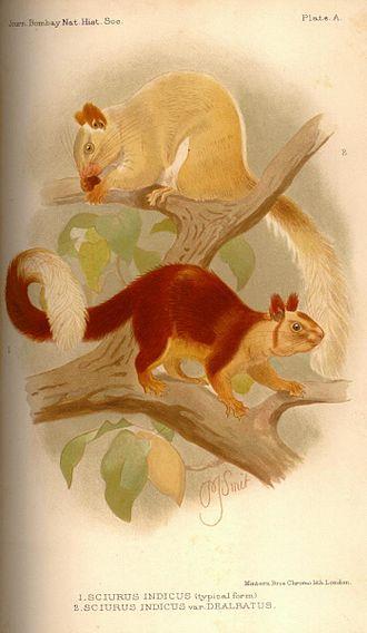 Indian giant squirrel - Ratufa indicus dealbatus (top) and Ratufa indicus typicus (bottom)