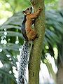 Sciurus variegatoides atrirufus (climbing).jpg