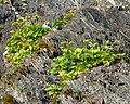 Scots Lovage (Ligusticum scoticum) - Gros Morne National Park, Newfoundland 2019-08-20.jpg