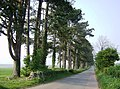 Scots pines on the White Way - geograph.org.uk - 447830.jpg