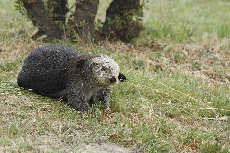 Sea Otter (Enhydra lutris) on land.jpg