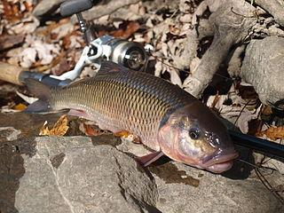 Fallfish species of fish