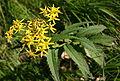 Senecio nemorensis in Mount Ontake.jpg