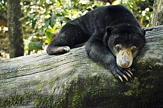 Sun bear - Image: Sepilok Sabah BSBCC photos by Wong Siew Te 02