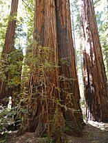 Sequoia sempervirens Armstrong3.jpg