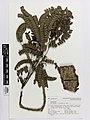 Serianthes . vitiensis A.Gray (AM AK206601).jpg