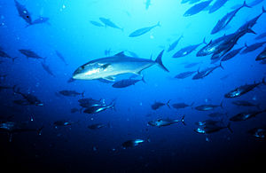 Amberjack - Greater amberjack, Seriola dumerili off the coast of North Carolina
