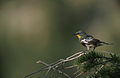 Setophaga auduboni NBII.jpg