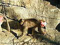 Sexual swelling in female Hamadryas baboon.jpg