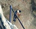 Shaheen Falcon (Falco peregrinus peregrinator) - Flickr - Lip Kee (1).jpg