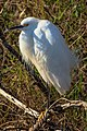 Shark Valley..bird Paradise W of Miami...Snowy Egret (Egretta thula)... (26872104512).jpg