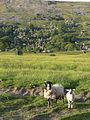 Sheep by Fremington Edge.jpg