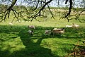 Sheep by the campsite, Ravenglass - geograph.org.uk - 1348902.jpg
