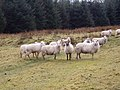 Sheep in the Forest - geograph.org.uk - 322034.jpg