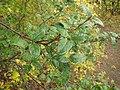 Shepherdia canadensis (7996245757).jpg