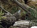 Short-toed Eagle 03.jpg