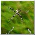 Signature Spider (5010470865).jpg