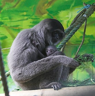 Silvery gibbon - A female and young