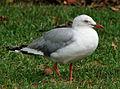 Silver Gull RWD1.jpg