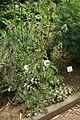 Silybium marianum - Botanischer Garten Mainz IMG 5427.JPG
