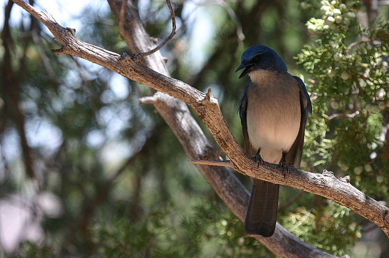 File:Singing Mexican Jay.JPG