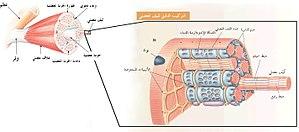 Skeletal muscle and fiber.jpg