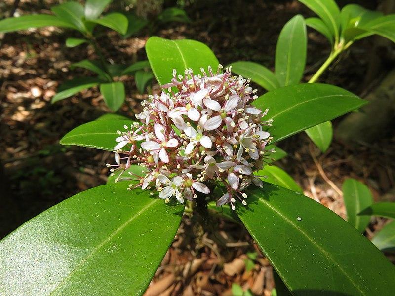 File:Skimmia japonica 4.JPG