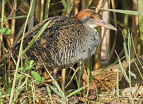 Slaty-breasted rail.jpg