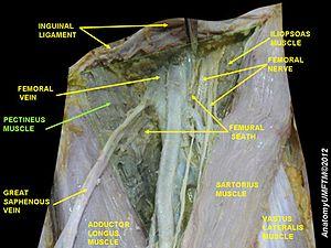 Pectineus muscle
