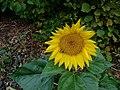 Slunečnice3.jpg