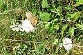 Small heath (Bač) (24131531718).jpg