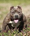 Smoky - American Bully Pocket Female (8599091206).jpg