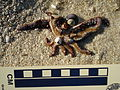 Snails feeding on a dead starfish (3009867343).jpg