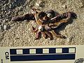 Snails feeding on a dead starfish (3009867343).jpg